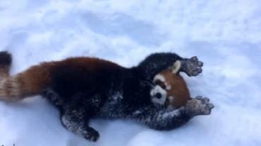 Ta mała czerwona panda stopi twoje serce.