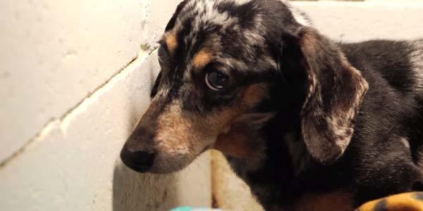 Sparaliżowany pies mieszkał w ciemnej komórce! Zobacz finał tej tragicznej historii!