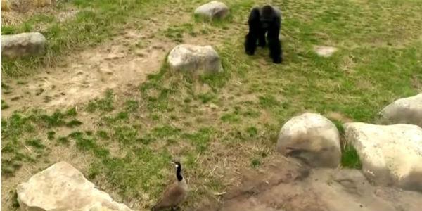 """Czasami zwierzęca siła nie rozwiąże wszystkich problemów. Sprawdź, jak potężny goryl """"radzi sobie"""" z nieproszonym gościem."""