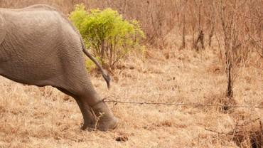 Gdyby nie pomoc rodziny, ten słoń z pewnością straciłby nogę! Niesamowite, ile dobra jest w tych zwierzętach!