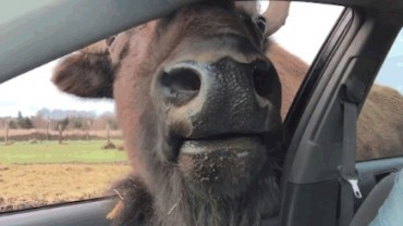 Spotkanie oko w oko z bizonem. Zobaczcie koniecznie!