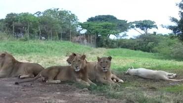 Gdy zobaczyłem, co zrobił ten lew, ciarki przeszły mi po całym ciele!