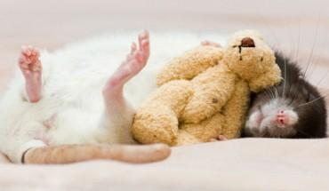 Poznaj 10 powodów, dla których warto docenić i pokochać szczura.