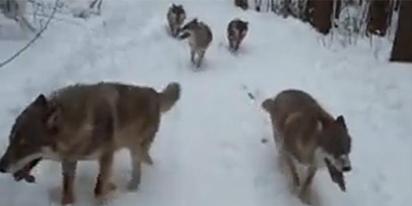 Turyści zauważyli, że za ich saniami podąża wataha wilków. Zobacz, co stało się później!