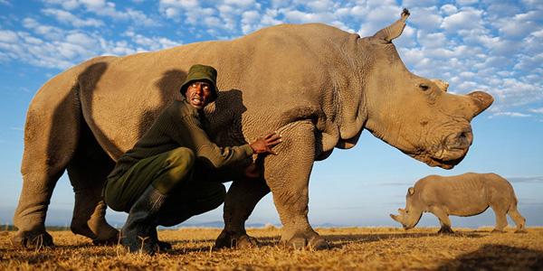Ten nosorożec jest tak cenny, że dzień i noc pilnują go komandosi!