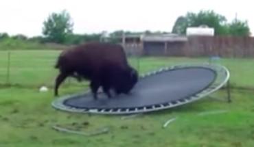 Zwierzęta skaczą na trampolinie… Tylko co tam robi bawół?!