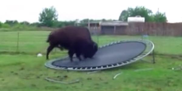 Zwierzęta skaczą na trampolinie... Tylko co tam robi bawół?!