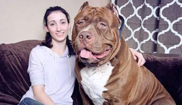 Jesteście fanami dużych psów? Poznajcie Hulka, największego pitbulla świata!