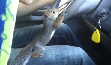 Ta wiewiórka ma nieprzeciętne umiejętności! Potrafi… kierować samochodem