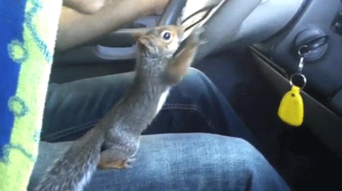 Ta wiewiórka ma nieprzeciętne umiejętności! Potrafi... kierować samochodem