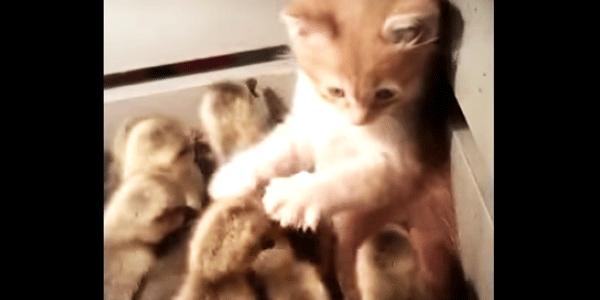 Ten kot wpadł do pudełka pełnego małych kaczuszek. Zobaczcie, jak zareagował. Tego się nie spodziewałam