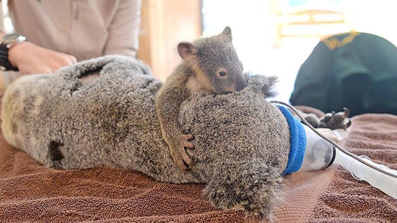 Mała koala przytula swoją mamę podczas operacji ratującej jej życie. Ten widok skruszy nawet najtwardsze serca!
