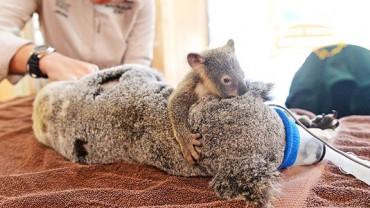 Mała koala przytula swoją mamę podczas operacji ratującej jej życie. Ten widok wzruszy nawet najtwardsze serca!