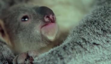 Ten mały koala po raz pierwszy w życiu widzi swoją mamę. Jego reakcja jest tak słodka, że trudno się nie uśmiechnąć!