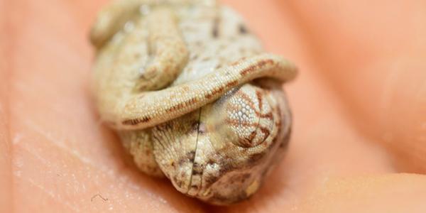 Ten mały kameleon jeszcze nie wie, że już nie ogranicza go skorupka jajka. Zobaczcie niesamowite zdjęcia!