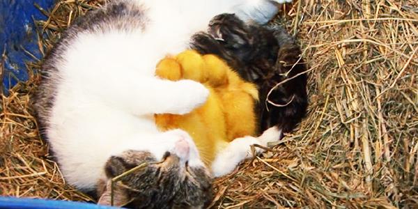 Kocica, która właśnie urodziła kocięta, stała się matką adopcyjną dla trzech malutkich kaczuszek! Instynkt macierzyński wziął górę