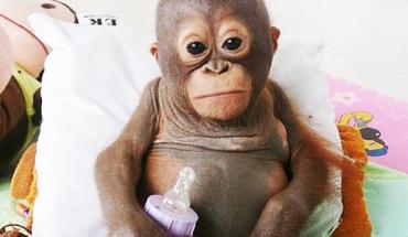 Ten mały orangutan całe życie był trzymany w ciasnym kurniku. Po jego uwolnieniu stało się coś, co ścisnęło mnie za serce…