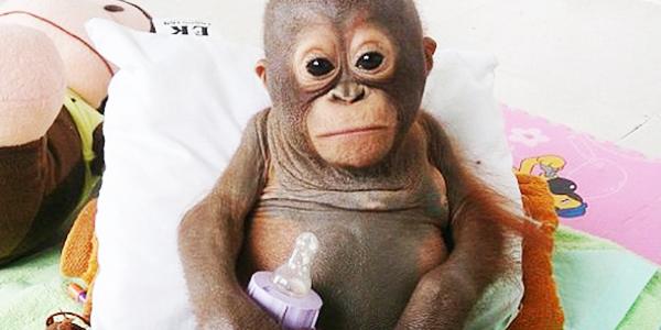 Ten mały orangutan całe życie był trzymany w ciasnym kurniku. Po jego uwolnieniu stało się coś, co ścisnęło mnie za serce...
