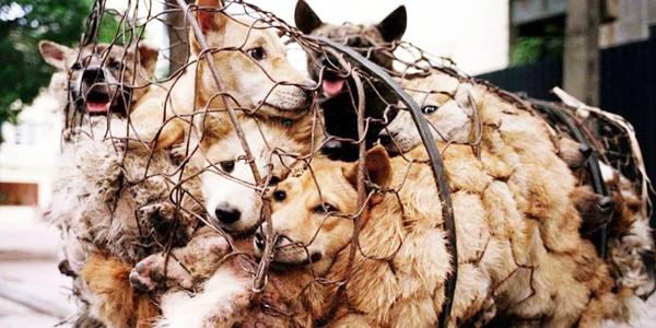 Co roku przemierza 2400 km, aby ratować setki psów przed krwawą ceremonią w Yulin. Jej postawa jest godna podziwu!