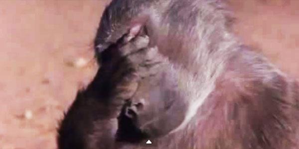 Te zwierzęta są pijane po skosztowaniu owocu maruli. Pękniesz ze śmiechu, gdy zobaczysz ich reakcję :)