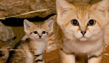 Chociaż są dorosłe, wyglądają, jakby miały kilka tygodni. Poznajcie koty pustynne, najsłodsze kotowate na świecie!