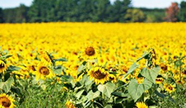 Pewien mężczyzna zasiał miliony słoneczników… Gdy się dowiedziałam, dlaczego to zrobił, wzruszyłam się do łez…