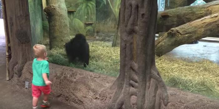 Interakcja tego chłopca z gorylem jest rozbrajająca!