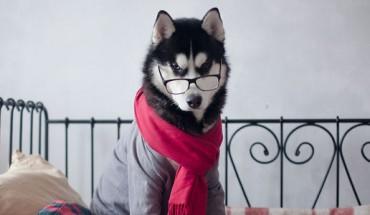 Psy Husky, które wyglądają niesamowicie… w ludzkich ciuchach :)