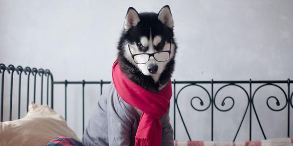 Psy Husky, które wyglądają niesamowicie... w ludzkich ciuchach :)