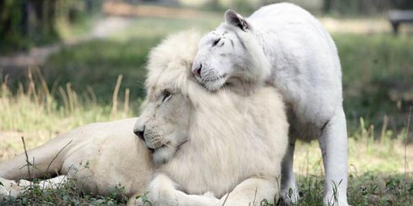 Potomkowie białego lwa i białego tygrysa. To chyba najpiękniejsze zwierzęta na świecie!