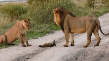 Stado lwów spotkało małego liska to, co się stało potem jest niewiarygodne!