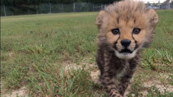 Ten młody gepard ma psa-przyjaciela!