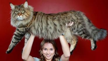 Koty rasy Maine Coon to największe udomowione koty na świecie!