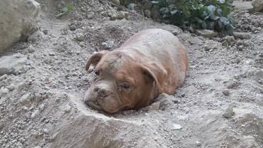 Ta suczka została odnaleziona we francuskim parku, zakopana żywcem po samą szyję!