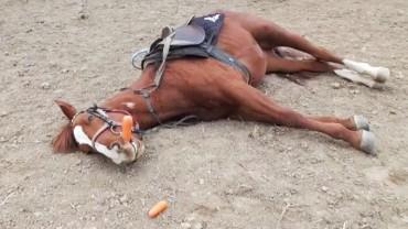 Ten koń kładzie się na ziemię i udaje trupa. Nie uwierzycie, dlaczego się tak zachowuje!