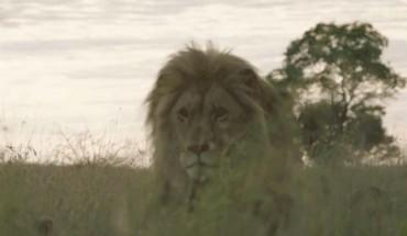 Ten lew bardzo cierpiał, dopóki nie pomógł mu… dentysta!