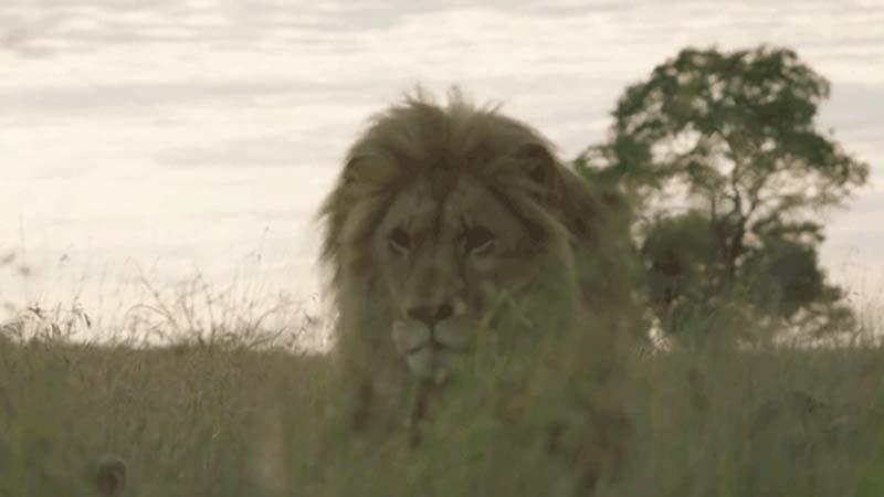 Ten lew bardzo cierpiał, dopóki nie pomógł mu... dentysta!