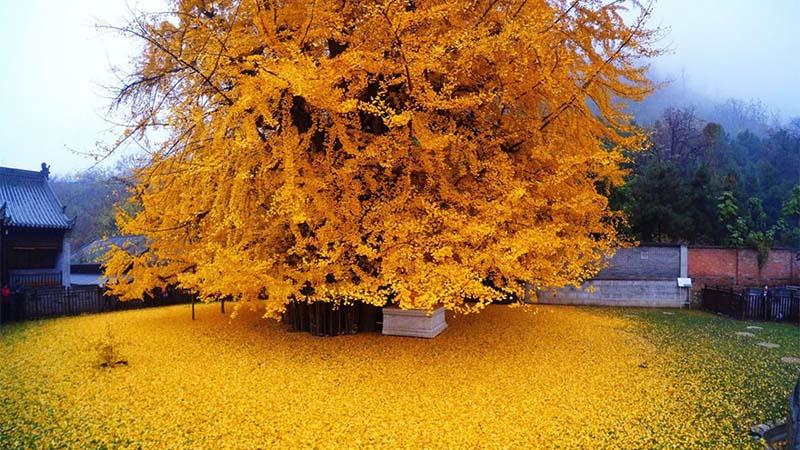 1400-letnie drzewo przepięknie udekorowało buddyjską świątynie.