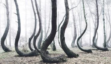 Tajemniczy polski las liczący 400 zakrzywionych drzew. To prawdziwa zagadka dla zaintrygowanych badaczy!