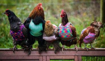 Te kury, dzięki pomocy dwóch życzliwych kobiet, na emeryturze cieszą się życiem!