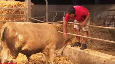 Uratował to zwierzę przed okrutnym traktowaniem. Kiedy byk zobaczył swoje posłanie, stało się coś niesamowitego!