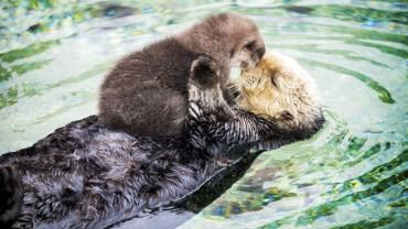 Jednodniowa wydra śpi na brzuchu pływającej matki. Te zdjęcia są tak urocze, że nie mogę przestać na nie patrzeć!