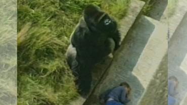 Ten wypadek w zoo mógł się zakończyć tragicznie… Zachowanie goryla zaskoczyło wszystkich!