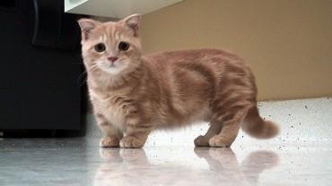 Niezwykle urocze kotki munchkin podbijają świat!