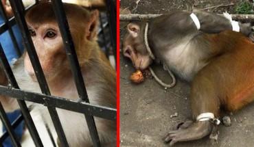 W Indiach aresztowano małpę! Gdy poznałam powód, dla którego to zrobiono, nie mogłam uwierzyć w to, co czytam!