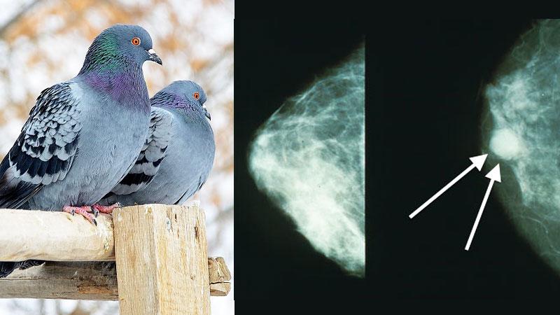Niezwykłe umiejętności gołębi, które wstrząsnęły medycznym środowiskiem! To, co udowodnili naukowcy, jest nieprawdopodobne!