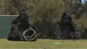 Genialny dowcip dwóch komików przebranych za goryle. Takiego występu w ZOO jeszcze nie było!