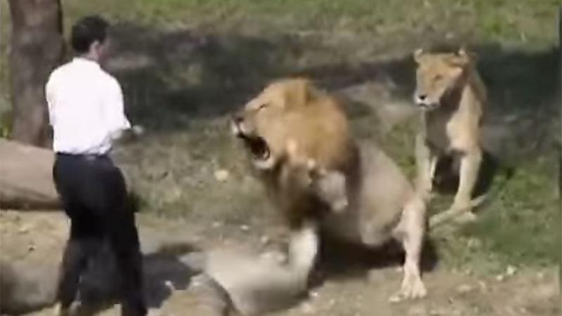 Chory psychicznie mężczyzna przedostał się na wybieg dla lwów! Zobacz, jak zakończyła się ta przerażająca sytuacja