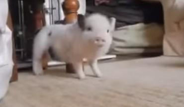 Ta świnka pobiła wszelkie tancerki na YouTubie!