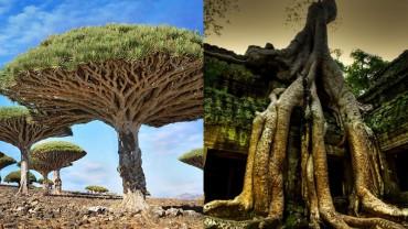 Przekonaj się, czy znasz najsłynniejsze na świecie drzewa!